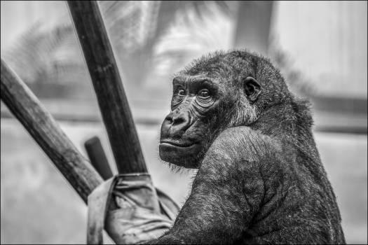 Gray Scale Photo of Black Ape #42140