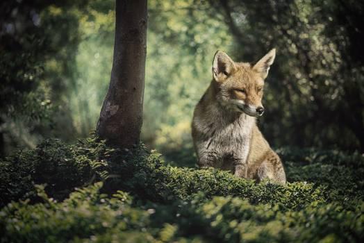 coyote Free Photo