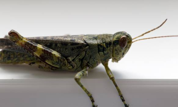 Grasshopper Insect Arthropod Free Photo