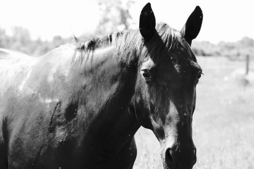 Horse Animal Thoroughbred Free Photo