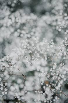 Snow Herb Vascular plant #421437