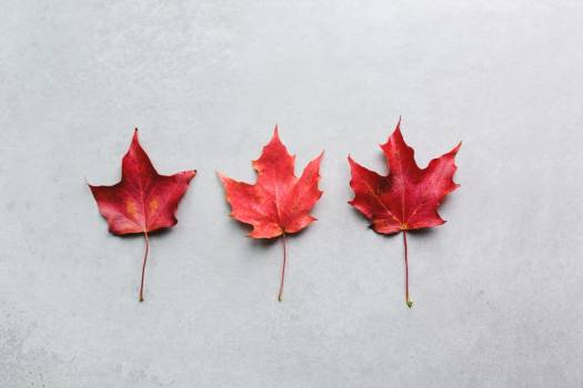Three Maple Leaves In A Row #421721