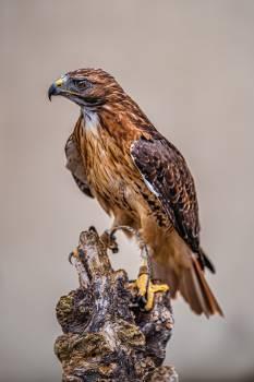 Hawk Bird Falcon Free Photo