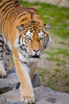 Shallow Focus Lens Photography of Tiger #42214