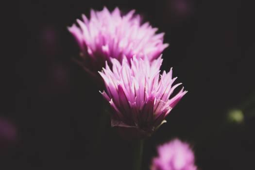 Purple Petaled Linear Leaf Flower Free Photo