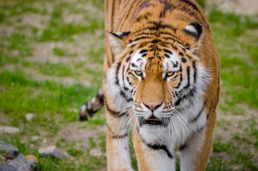 Tiger on Green Grass during Daytime #42216