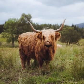 Highland Beef Bull #422175
