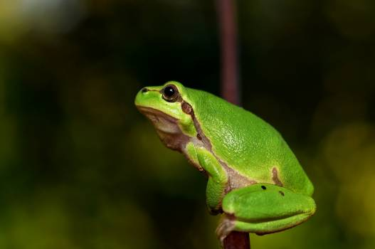 Frog green eye #42220