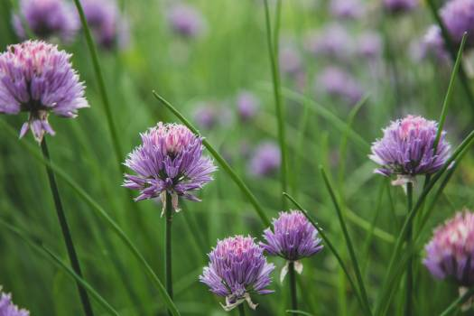 Chives Bulbous plant Flower #422234