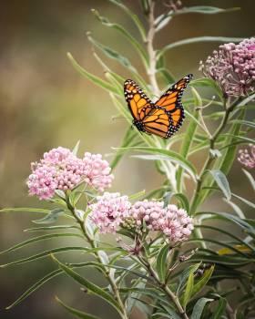 Swamp milkweed Milkweed Herb #422288