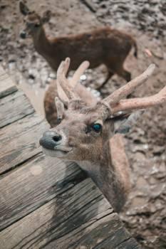 Buck Deer Placental Free Photo