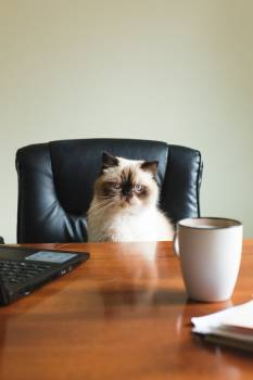 A Blue Point Himalayan Sits At A Desk #422494