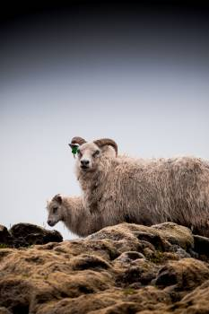 Simpleton Sheep Ram Free Photo