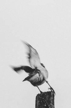 Bird Chickadee Quill Free Photo