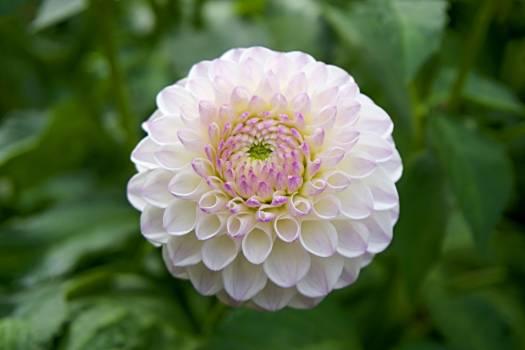 Garden flower closeup close up #42257