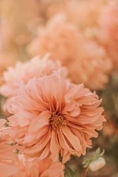 Flower Pink Daisy #422749