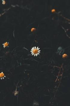 Dark Daisy #422792