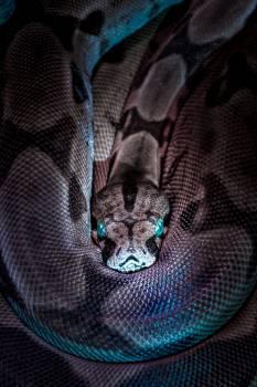 Boa constrictor Boa Snake Free Photo