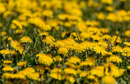 Yellow Dandelion Fields - Free Image For Commercial Use Free Photo