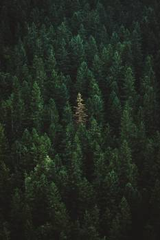 Tree Fir Forest #423029