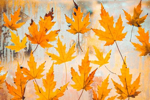Maple Autumn Leaves #423033