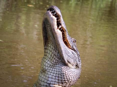 Alligator in Lake #42304