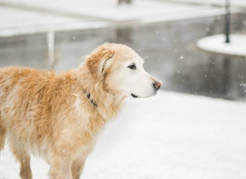 Snow golden retriever #42310