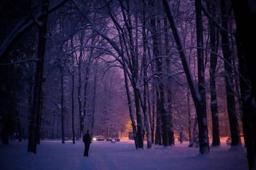 Tree Birch Forest Free Photo