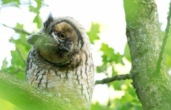 Owl Bird Wildlife Free Photo