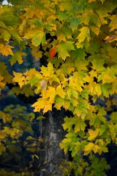 Maple Leaves Tree Free Photo
