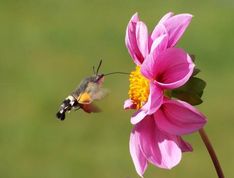 Moth Hovering by a Pink Zinnia #42325