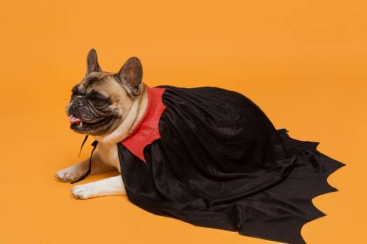 French Bulldog In Vampire Cape #423342