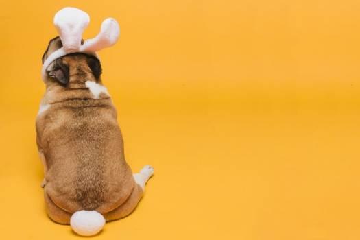 Chubby Dog Dressed As Bunny #423343