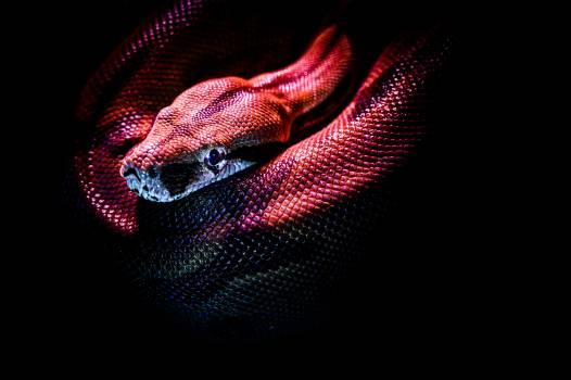 Night snake Snake Black Free Photo