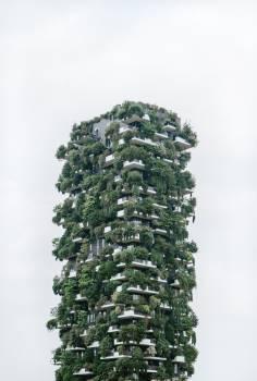Fir Tree Pine #423579