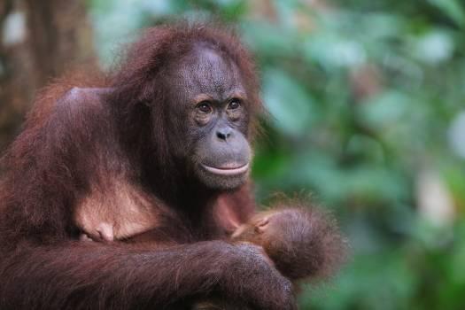 Orangutan Ape Primate #423662