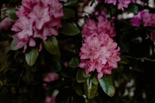 Shrub Woody plant Rhododendron Free Photo