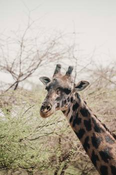 Giraffe Wildlife Mammal Free Photo