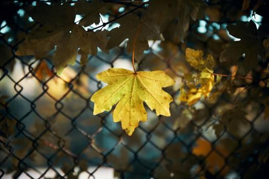 Maple Autumn Tree Free Photo