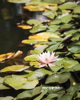 Aquatic Flower Pond Free Photo