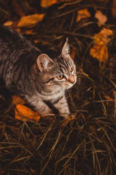 Domestic cat Cat Feline Free Photo