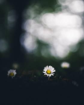 Daisy Herb Flower #424316