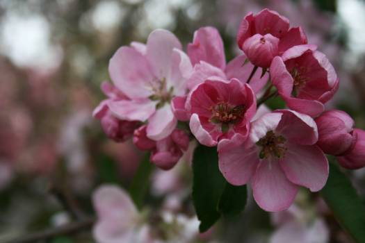Pink Flowering quince Plant #424377