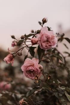 Tree Magnolia Pink #424505