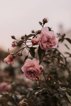 Tree Magnolia Pink Free Photo