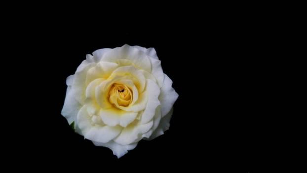 Rose On Black #424631