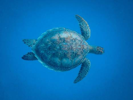 Sea turtle Turtle Reptile #424660