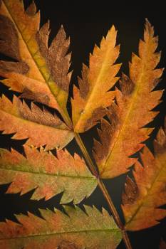 Maple Oak Leaves Free Photo