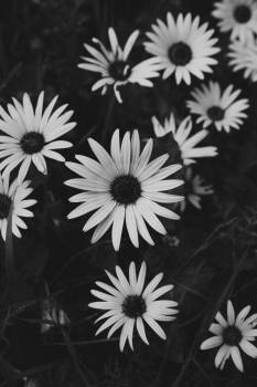 Black And White Daisies #424733