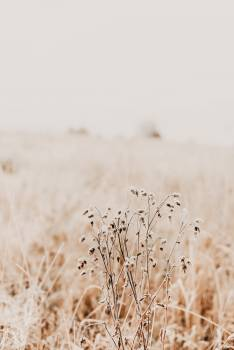 Wheat Cereal Crop Free Photo